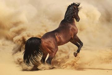 Purebred arabic stallion in desert