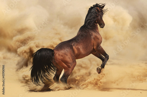 Purebred arabic stallion in desert