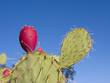 Fruit of Prickly Pear Cactus