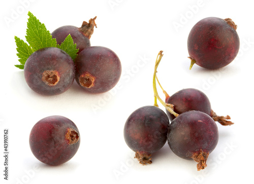 Josta hybrid gooseberry and black currant