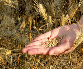 female hand with seeds and wheat land