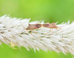 long horned beetle paring