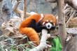 panda roux qui se repose