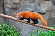 panda roux sur une branche 2