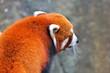 panda roux de profil