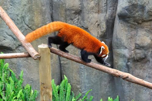panda roux sur une branche