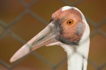 white napped crane