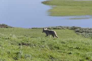coyote a caccia nello Yellowstone National Park
