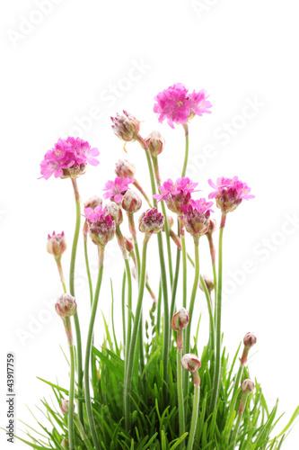 rozowe-kwiaty-na-bialym-tle