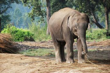 Elephant in Chitwan national park, Nepal