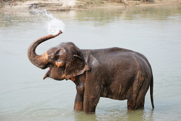 Elephant splashing water, Chitwan National park,