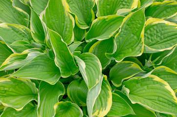 Curled plantain lily (Hosta crispula)