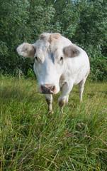 White cow in a Dutch landscape