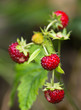 Plants of red ripe wild strawberry in summer.