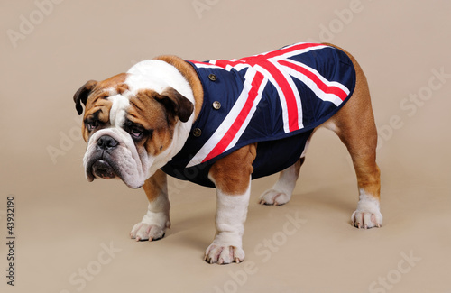 English Bulldog in studio standing in front of beige background