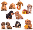Dachshund puppies in different poses