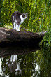domestic scared cat and his reflection in water