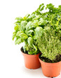 fresh herbs in gardening pots
