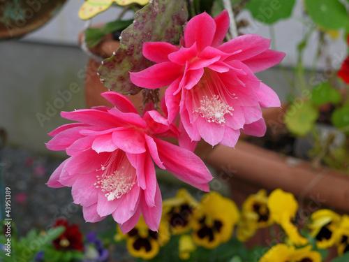 Foto op Canvas Cactus rosa Blüte Epiphyllum Kaktus