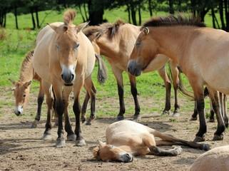 Przewalskipferde mit Fohlen im Tierpark Sababurg