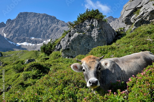 Jungrind und Alpenrosen im Hochgebirge