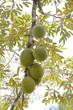 Durian - Durio zibethinus L.