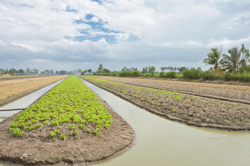 A lush field of lettuce farm must be irrigated.