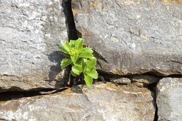 Steinmauer mit Sukkulente © Matthias Buehner