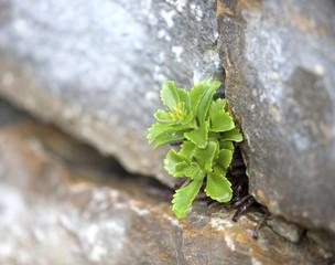 Sukkulente in Steinmauer © Matthias Buehner