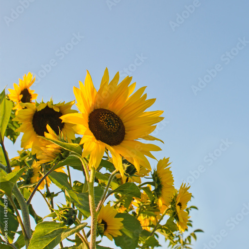 Sunflowers: color of the summer