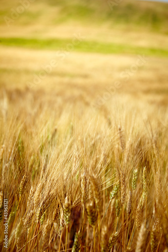 Yellow grain ready for harvest growing in a Tuscany  farm field