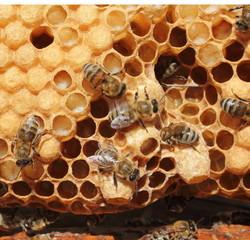 Cocoons future Queen Bees