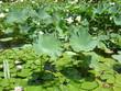 Lotus et nénuphar