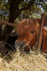 cavallo mangia il fieno