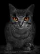 The Wildcat.