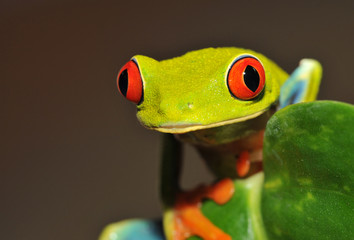 red eyed green tree or gaudy leaf frog, costa rica