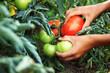 reife Tomate am Pflücken