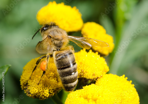 honeybee from above, yellow umbels