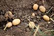 hervorgegrabene Kartoffeln