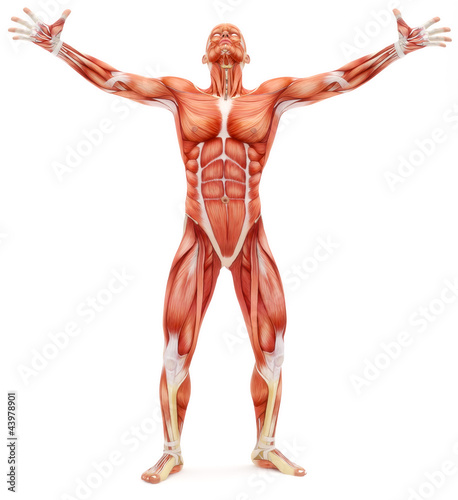 Male musculoskeletal system looking upward