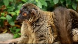 Cute Red-bellied Lemur on blured background