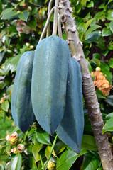 Fruits - Babaco Tree