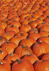 Pumpkin patch with hundreds of pumpkins