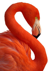 Portrait de flamand rose