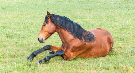 Young horse lying in grassland
