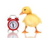 Duckling and alarm clock isolated on white