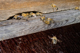 bees at the hive closeup, drone looks out at left poster