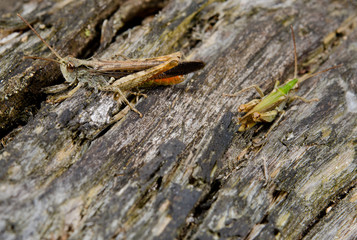two types of grasshopper on rotten bark