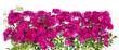 Big pink roses floral hedge