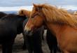 Icelandic Horses near Gullfoss, Iceland